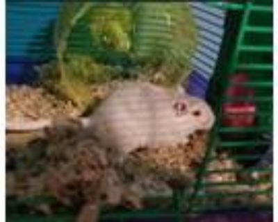 Adopt Queen Elsa a White Gerbil small animal in South Bend, IN (31690749)