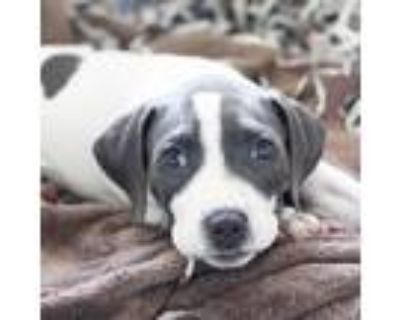 Adopt Edward a White American Pit Bull Terrier / Mixed dog in Atlanta