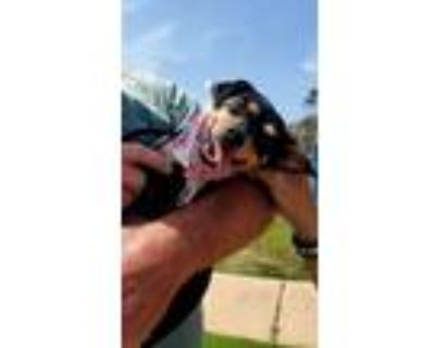 Adopt Pinny a Tricolor (Tan/Brown & Black & White) Miniature Pinscher / Mixed