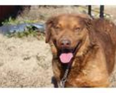 Adopt Curley a Brown/Chocolate Labrador Retriever dog in Lone Oak, TX (31392557)