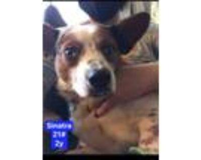 Adopt Sinatra a Australian Cattle Dog / Blue Heeler