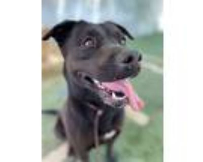Adopt Ebony a Black Labrador Retriever / Mixed dog in Apple Valley