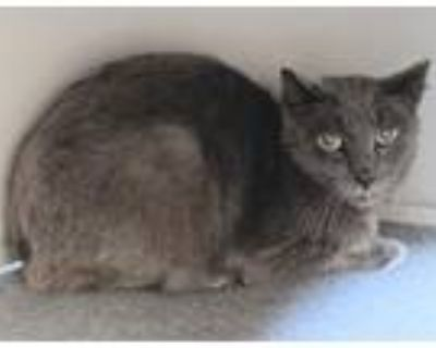 Adopt Fred a Russian Blue