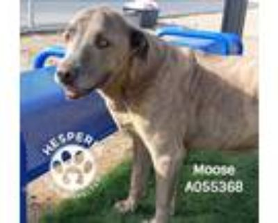 Adopt MOOSE a Brindle American Pit Bull Terrier / Mixed dog in Hesperia