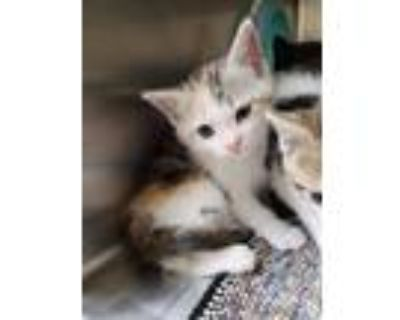 Adopt Cookie Dough a White Domestic Shorthair / Domestic Shorthair / Mixed cat