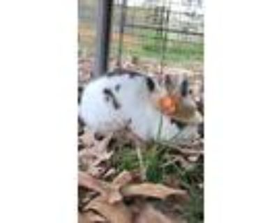 Adopt Sonney Boo a Bunny Rabbit