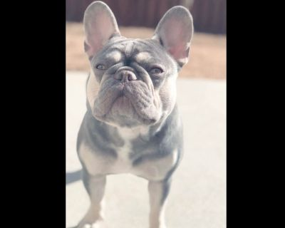 Bleu_print_frenchies -puppies available