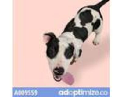 Adopt CHLOE a Pit Bull Terrier, Mixed Breed