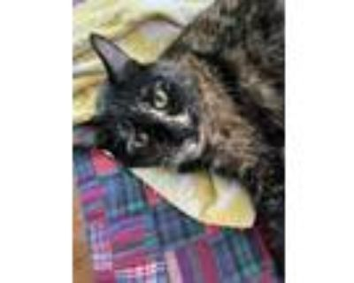 Adopt Snickers a Brown or Chocolate Domestic Mediumhair / Mixed (medium coat)
