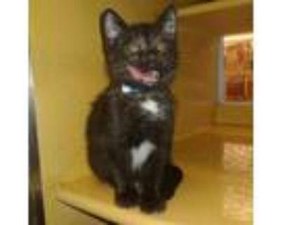 Adopt Faro a All Black Domestic Shorthair / Mixed cat in Blasdell, NY (31499624)