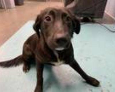 Adopt STELLA a Black - with White Labrador Retriever / Mixed dog in San Antonio