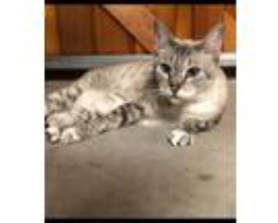 Adopt Sophie a Siamese / Mixed (short coat) cat in Fort Worth, TX (32065390)