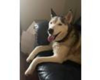 Adopt Kiva a White - with Gray or Silver Siberian Husky / Mixed dog in