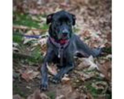 Adopt Enzo - Costa Mesa Location a Black Weimaraner / Mixed dog in Chino Hills