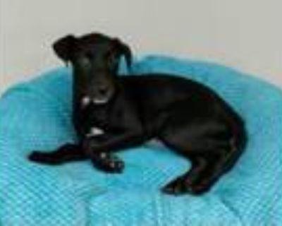 Adopt Henna a Beagle