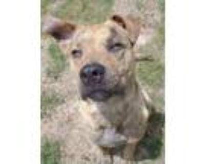 Adopt KEVIN a Brindle - with White Labrador Retriever / Mixed dog in Greensboro