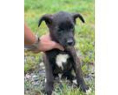 Adopt Solomon a Black Border Collie / Labrador Retriever / Mixed dog in Newark