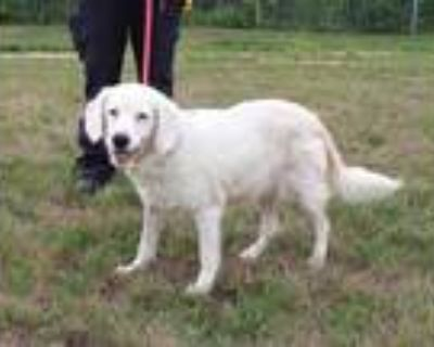 Adopt EDELWEISS a White Cocker Spaniel / Mixed dog in Louisville, KY (31881853)