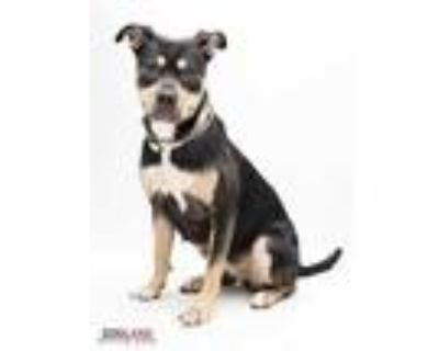 Adopt Juno a Black Rottweiler / Mixed dog in Indianapolis, IN (32107408)