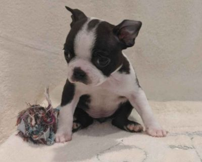 Stonewall Jackson Boston Terrier Puppies