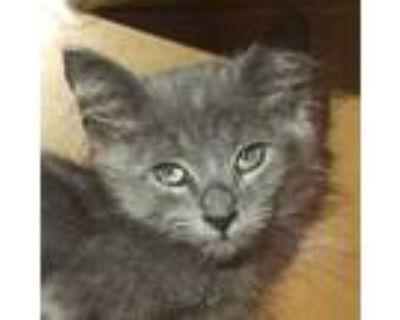 Adopt Gatsby -$25 a American Shorthair, Domestic Short Hair