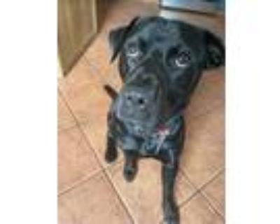 Adopt TIA a Black Labrador Retriever / Mixed dog in Rockville, MD (32596752)