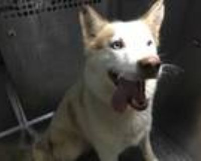 Adopt 48013649 a Tan/Yellow/Fawn Husky / Mixed dog in Fort Worth, TX (31635465)