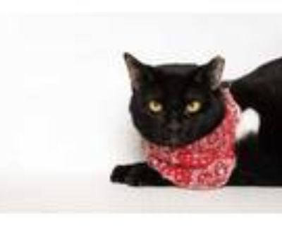 Adopt Flareon (Working Cat) a All Black Domestic Shorthair / Domestic Shorthair