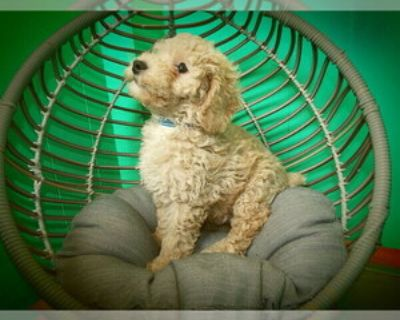 PRINCE THE TOY POODLE
