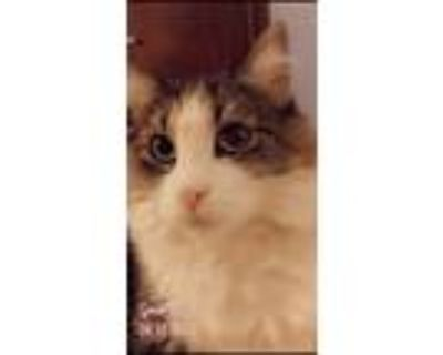 Adopt Olive a Gray or Blue (Mostly) Maine Coon / Mixed (medium coat) cat in