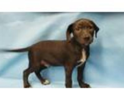 Adopt Mark a Black Labrador Retriever / Mixed dog in Golden Valley