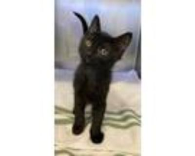 Adopt 654963 a All Black Domestic Mediumhair / Domestic Shorthair / Mixed cat in