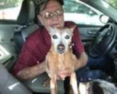 Adopt Courtesy - Sassy a Tan/Yellow/Fawn Miniature Pinscher / Mixed dog in