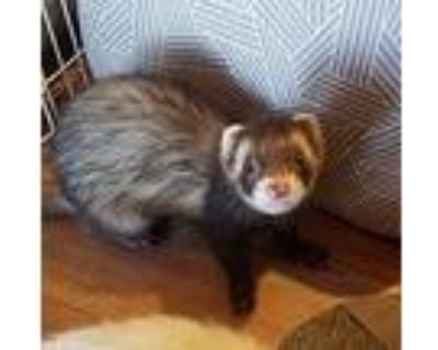 Millie And Rocket And Castiel, Ferret For Adoption In Brandy Station, Virginia