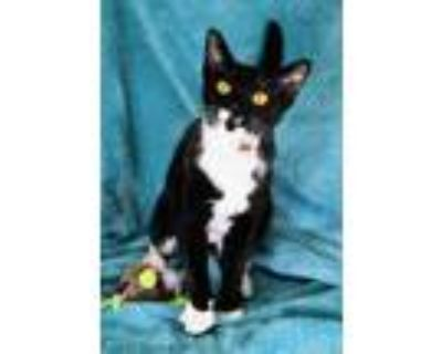 Adopt Mollie a All Black Domestic Shorthair / Domestic Shorthair / Mixed cat in