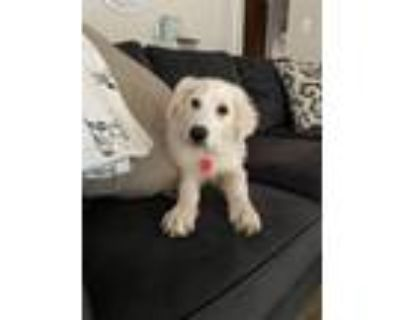 Adopt Pepper a Great Pyrenees, Mixed Breed
