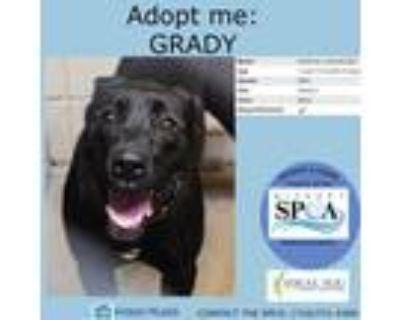 Adopt Grady a Black American Pit Bull Terrier / Mixed dog in Niagara Falls