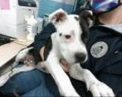 Adopt GUCCI a Black - with White American Pit Bull Terrier / Mixed dog in