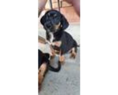 Adopt Birkenstock aka Birki - Fostered in Omaha a Beagle, Dachshund