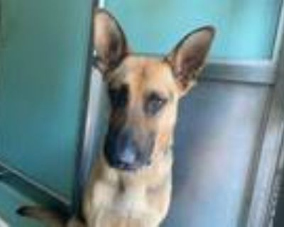 Adopt JUSTIN a Brown/Chocolate - with Black German Shepherd Dog / Mixed dog in