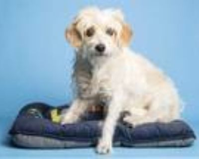 Adopt MADAME MERINGUE a White - with Brown or Chocolate Cairn Terrier / Mixed