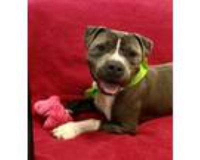 Adopt JEREMY a Pit Bull Terrier