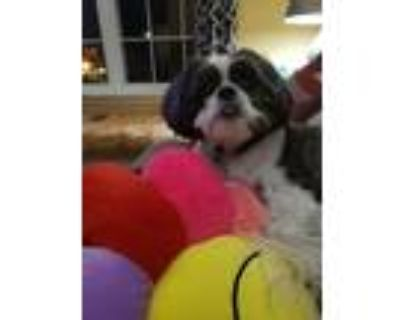 Adopt Jesse a Black - with White Shih Tzu / Mixed dog in District Heights