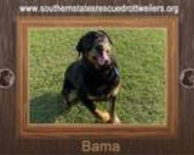 Adopt Bama a Rottweiler