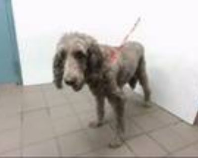 Adopt COCO a Poodle, Labrador Retriever