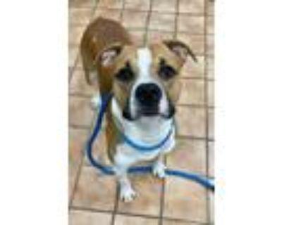 Adopt ZEUS a Boxer, Mixed Breed