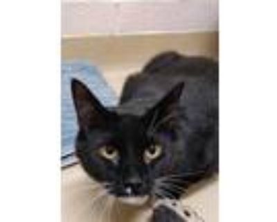 Adopt ICHABOD a All Black Domestic Shorthair / Mixed (short coat) cat in