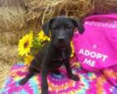 Adopt Baby Mae a Labrador Retriever, Cattle Dog