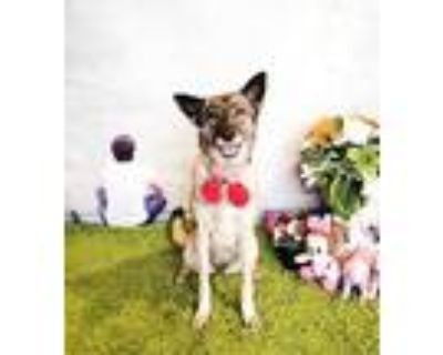 Adopt Zainy a Black - with Tan, Yellow or Fawn Shepherd (Unknown Type) / Mixed