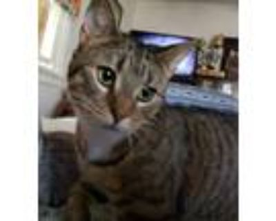 Adopt Seraphina a Brown Tabby Domestic Shorthair (short coat) cat in Fairfax